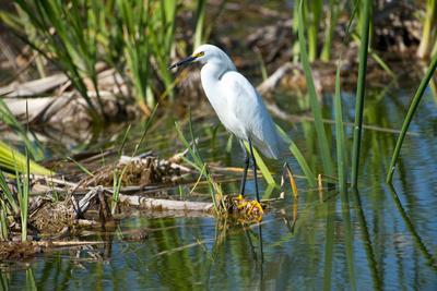 Florida, Immokalee, Snowy Egret Hunting