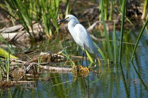 Florida, Immokalee, Snowy Egret Hunting by Bernard Friel