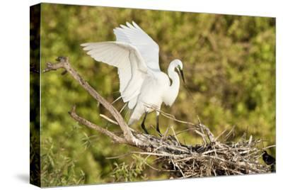 Florida, Venice, Audubon Sanctuary, Common Egret Wings Open at Nest