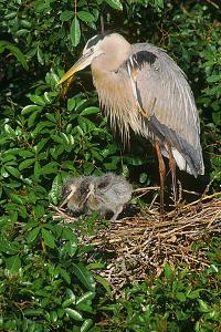 Florida, Venice, Great Blue Heron at Nest with Two Baby Chicks in Nest by Bernard Friel