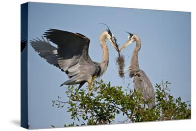 Florida, Venice, Great Blue Heron, Courting Stick Transfer Ceremony
