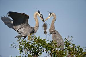 Florida, Venice, Great Blue Heron, Courting Stick Transfer Ceremony by Bernard Friel