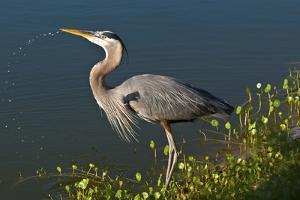 Florida, Venice, Great Blue Heron Drinking Water Streaming from Bill by Bernard Friel