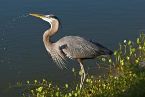 Florida, Venice, Great Blue Heron Drinking Water Streaming from Bill by Bernard Friel