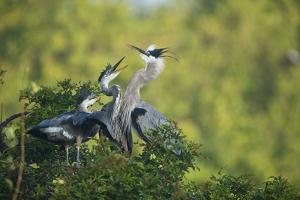 Florida, Venice, Great Blue Herons and Juveniles Feeding Time at Nest by Bernard Friel