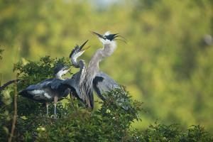 Florida, Venice, Great Blue Herons and Juveniles Feeding Time at Nest by Bernard Friel