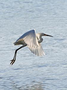 Florida, Venice, Snowy Egret Flying by Bernard Friel