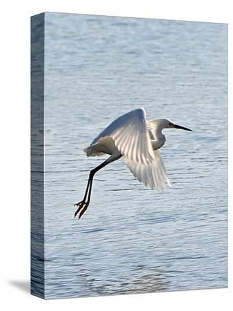 Florida, Venice, Snowy Egret Flying