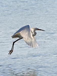 Florida, Venice, Snowy Egret Flying by Bernard Friel