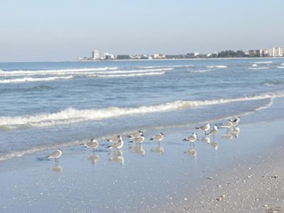 Laughing Gulls Along Crescent Beach, Sarasota, Florida, USA