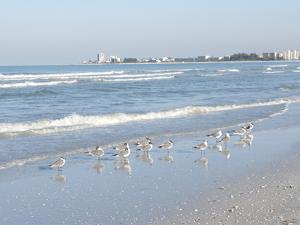 Laughing Gulls Along Crescent Beach, Sarasota, Florida, USA by Bernard Friel