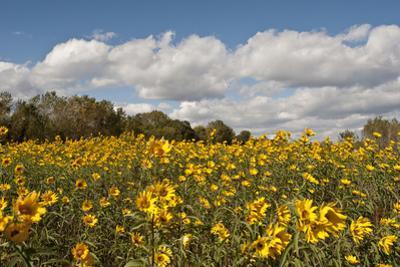 Minnesota, West Saint Paul, Field of Daisy Wildflowers and Clouds by Bernard Friel
