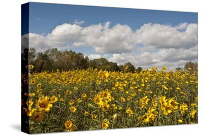 Minnesota, West Saint Paul, Field of Daisy Wildflowers and Clouds