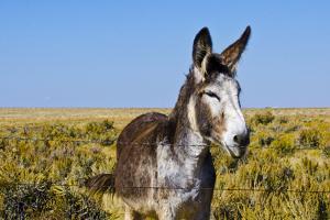 New Mexico, Bisti/De-Na-Zin Wilderness, Donkey by Bernard Friel