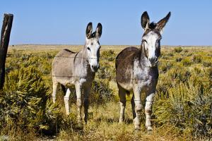 New Mexico, Bisti De-Na-Zin Wilderness, Two Donkeys by Bernard Friel