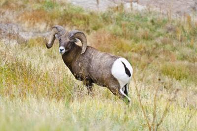 South Dakota, Badlands National Park, Full Curl Bighorn Sheep Grazing Along Roadway by Bernard Friel