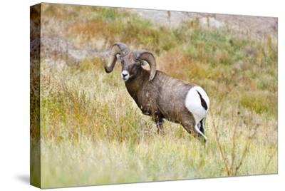 South Dakota, Badlands National Park, Full Curl Bighorn Sheep Grazing Along Roadway