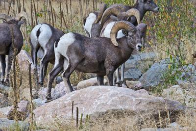 USA, Colorado, Drake, Grazing Group of Bighorn Sheep Rams