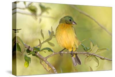 USA, Florida, Immokalee, Male Painted Bunting Perched on Branch