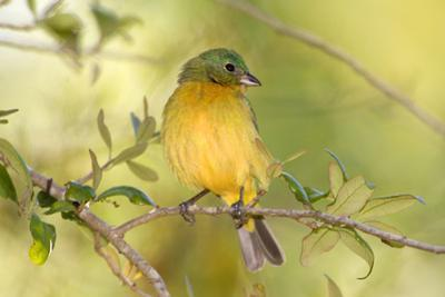 USA, Florida, Immokalee, Male Painted Bunting Perched on Branch by Bernard Friel
