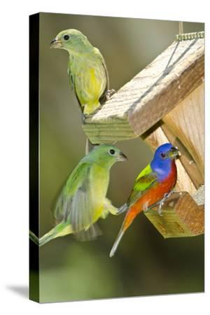 USA, Florida, Immokalee, Painted Buntings Perched on Hopper Feeder