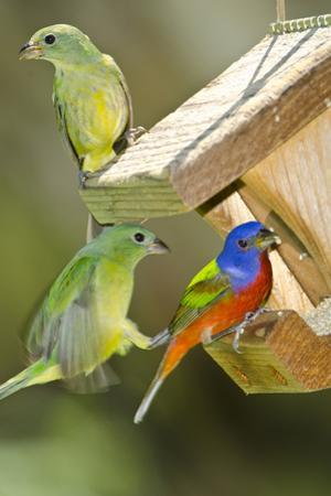 USA, Florida, Immokalee, Painted Buntings Perched on Hopper Feeder by Bernard Friel