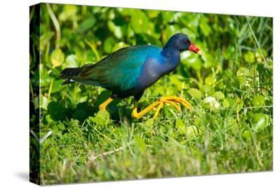 USA, Florida, Immokalee, Purple Gallinule