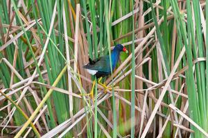 USA, Florida, Immokalee, Purple Gallinule by Bernard Friel