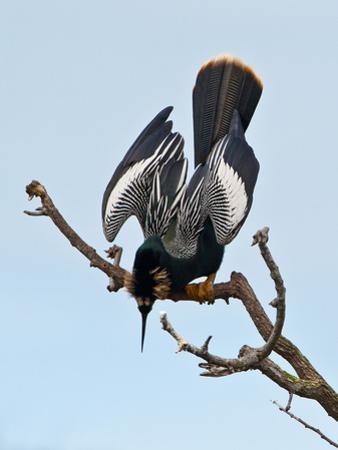 USA, Florida, Venice. Audubon Rookery, Anhinga male Displaying in tree by Bernard Friel