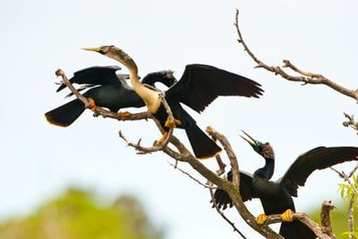 USA, Florida, Venice. Audubon Rookery, Anhinga males fighting over female by Bernard Friel