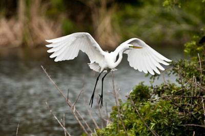 USA, Florida, Venice. Audubon Rookery, Great Egret flying with nest material, landing at nest. by Bernard Friel