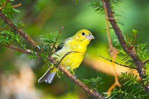 USA, Minnesota, Mendota Heights, Mohican Lane, American Goldfinch by Bernard Friel