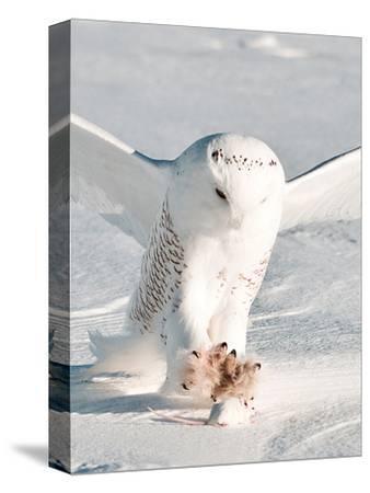 USA, Minnesota, Vermillion. Snowy Owl Catching Prey