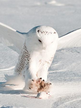 USA, Minnesota, Vermillion. Snowy Owl Catching Prey by Bernard Friel
