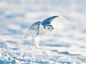 USA, Minnesota, Vermillion. Snowy Owl in Flight by Bernard Friel