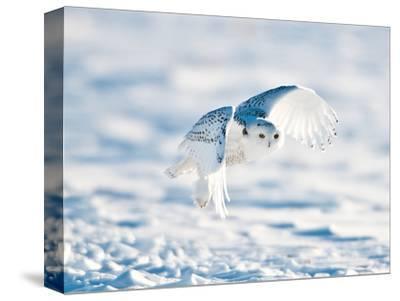 USA, Minnesota, Vermillion. Snowy Owl in Flight
