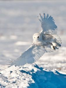 USA, Minnesota, Vermillion. Snowy Owl Landing on Snow by Bernard Friel