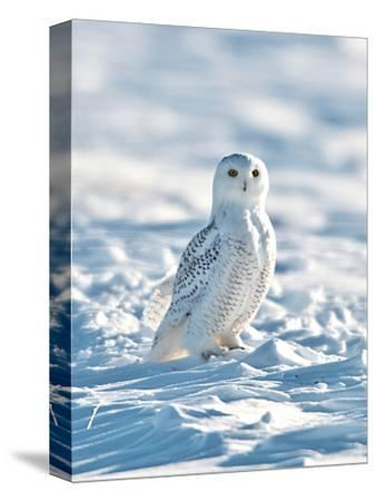 USA, Minnesota, Vermillion. Snowy Owl Perched on Snow