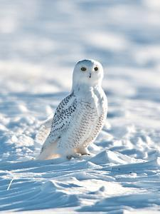 USA, Minnesota, Vermillion. Snowy Owl Perched on Snow by Bernard Friel