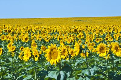 USA, South Dakota, Murdo. Sunflower field by Bernard Friel