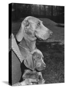 Champion Weimaraner and her 8-week-old male puppy with proud owner Mrs. Harold Goldsmith. by Bernard Hoffman
