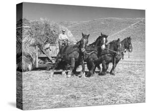 Rancher Dragging Mound of Hay to Feed His Beef Cattle at the Abbott Ranch by Bernard Hoffman