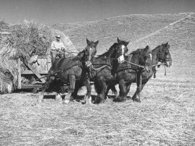 Rancher Dragging Mound of Hay to Feed His Beef Cattle at the Abbott Ranch