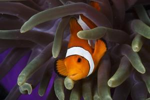 Clown Fish and Blue Anemonie by Bernard Radvaner