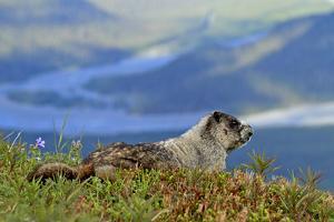 North America, the Usa, Alaska, Ice-Grey Groundhog by Bernd Rommelt