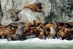 North America, the Usa, Alaska, Stellersche Sea Lions by Bernd Rommelt