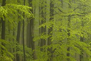 Beech Forest (Fagus Sylvatica), Fresh Green Leaves, Fog after Heavy Rain, Spessart, Bavaria, German by Berndt Fischer