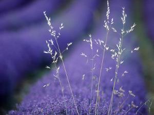 Lavender Fields in Flower, France by Berndt Fischer