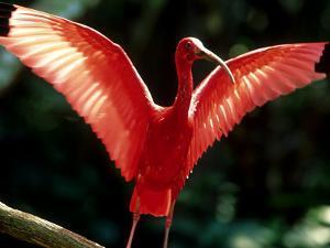 Scarlet Ibis, Sao Paulo, Brazil by Berndt Fischer