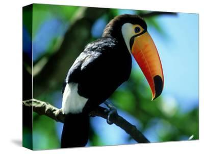 Toco Toucan, Iguacu National Park, Brazil